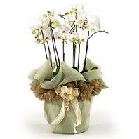 İstanbul yurtiçi ve yurtdışı çiçek siparişi  3 dal orkide , saksi çiçegi , 3 kök orkide