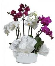 4 dal mor orkide 2 dal beyaz orkide  Hediye Çiçek ucuz çiçek gönder