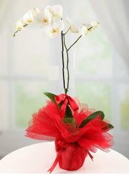 1 dal beyaz orkide saksı çiçeği  Hediye Çiçek çiçek siparişi vermek
