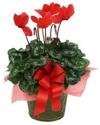 Sılkamen saksı çiçeği  İstanbul çiçek siparişi vermek