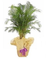 Areka saksı çiçeği  Hediye Çiçek çiçek siparişi sitesi