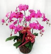 6 Dallı mor orkide çiçeği  Hediye Çiçek ucuz çiçek gönder