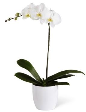 1 dallı beyaz orkide  İstanbul çiçek , çiçekçi , çiçekçilik