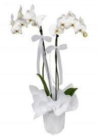 2 dallı beyaz orkide  Hediye Çiçek internetten çiçek siparişi