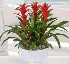 3 lü Guzmanya saksı çiçek bitkisi  Hediye Çiçek çiçek , çiçekçi , çiçekçilik