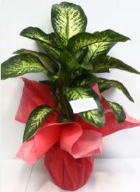 Büyük boy Difenbahya Saksı bitkisi 90 cm 1.10 cm  Hediye Çiçek İnternetten çiçek siparişi