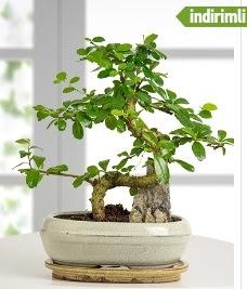 S şeklinde ithal gerçek bonsai japon ağacı  İstanbul online çiçekçi , çiçek siparişi