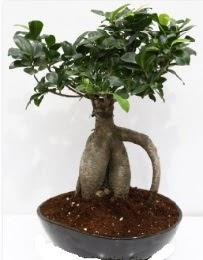5 yaşında japon ağacı bonsai bitkisi  İstanbul online çiçekçi , çiçek siparişi