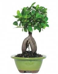 5 yaşında japon ağacı bonsai bitkisi  İstanbul çiçek gönderme