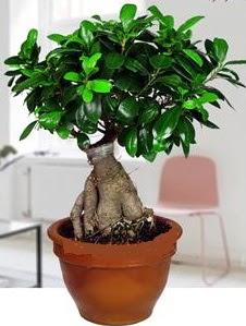 5 yaşında japon ağacı bonsai bitkisi  İstanbul çiçek yolla
