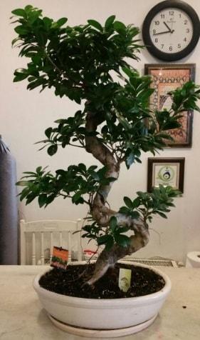 100 cm yüksekliğinde dev bonsai japon ağacı  Hediye Çiçek cicekciler , cicek siparisi