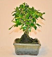 Zelco bonsai saksı bitkisi  İstanbul çiçek siparişi sitesi