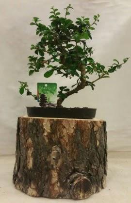 Doğal kütük içinde bonsai japon ağacı  İstanbul cicekciler , cicek siparisi