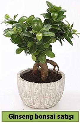 Ginseng bonsai japon ağacı satışı  İstanbul hediye sevgilime hediye çiçek