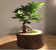 Doğal kütükte Bonsai japon ağacı satışı  İstanbul online çiçekçi , çiçek siparişi