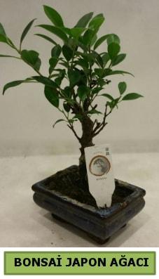 Bonsai japon ağacı saksı bitkisi  İstanbul çiçek siparişi sitesi