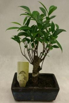 Japon ağacı bonsai bitkisi satışı  İstanbul hediye sevgilime hediye çiçek