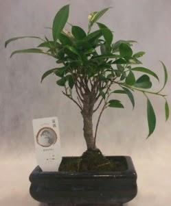 Bonsai japon ağacı bitkisi satışı  İstanbul uluslararası çiçek gönderme
