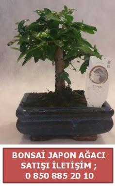 Japon ağacı minyaür bonsai satışı  İstanbul çiçek online çiçek siparişi