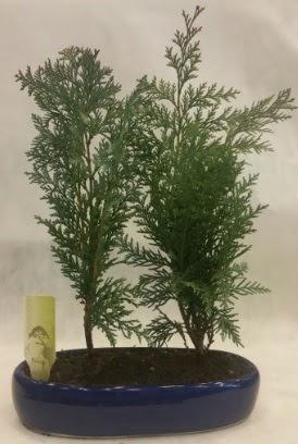 SINIRLI SAYIDA Selvi Ağacı bonsai ikili  İstanbul hediye sevgilime hediye çiçek