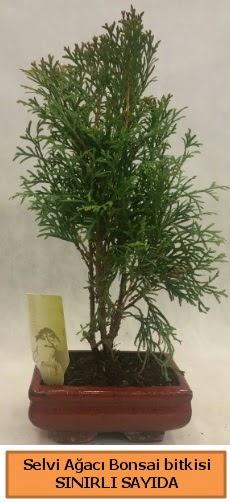 Selvi ağacı bonsai japon ağacı bitkisi  İstanbul çiçek online çiçek siparişi