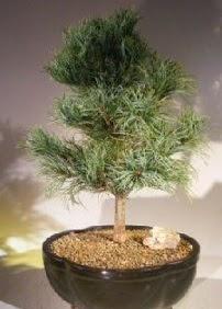 Çam ağacı bonsai bitkisi satışı  İstanbul çiçek mağazası , çiçekçi adresleri