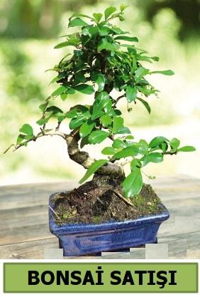 Çam bonsai japon ağacı satışı  Hediye Çiçek çiçek online çiçek siparişi
