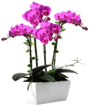 Seramik vazo içerisinde 4 dallı mor orkide  İstanbul çiçek online çiçek siparişi