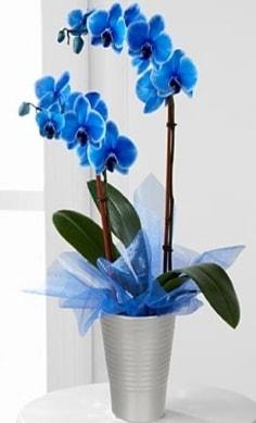 Seramik vazo içerisinde 2 dallı mavi orkide  İstanbul çiçek servisi , çiçekçi adresleri
