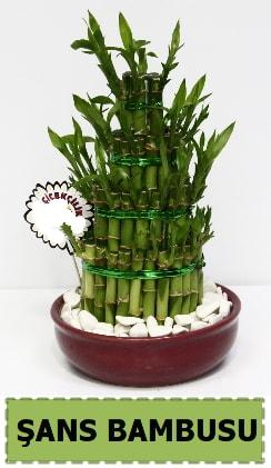 Şans piramit bambu saksı bitkisi  İstanbul çiçek online çiçek siparişi