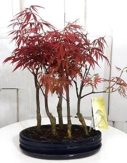 5 adet japon akçaağaç bonsai çiçeği  İstanbul çiçek online çiçek siparişi