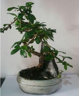 S şeklinde ithal bonsai ağacı  İstanbul 14 şubat sevgililer günü çiçek