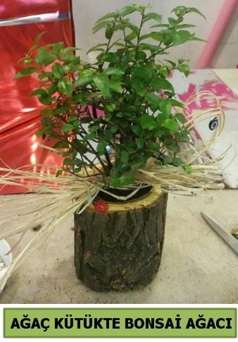 Doğal ağaç kütük içerisinde bonsai ağacı  İstanbul uluslararası çiçek gönderme