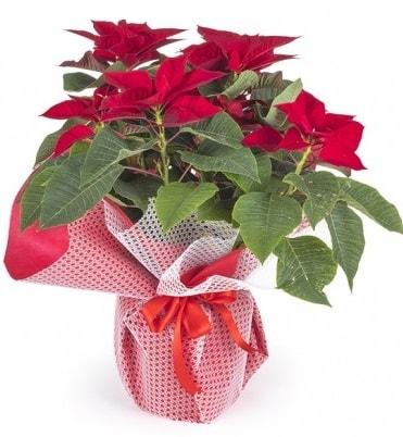 Atatürk çiçeği saksı bitkisi  İstanbul uluslararası çiçek gönderme