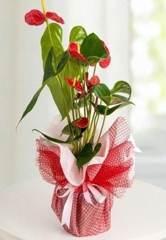Anthurium Saksı Çiçeği  İstanbul kaliteli taze ve ucuz çiçekler