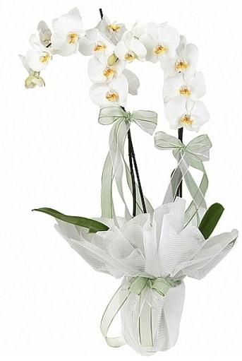 Çift Dallı Beyaz Orkide  İstanbul ucuz çiçek gönder
