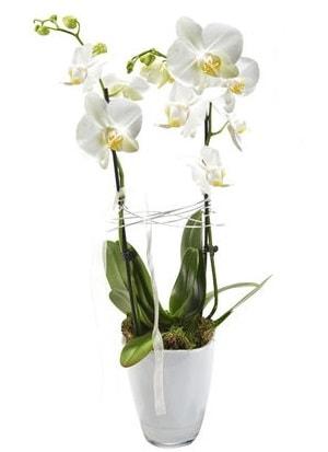 2 dallı beyaz seramik beyaz orkide saksısı  İstanbul uluslararası çiçek gönderme