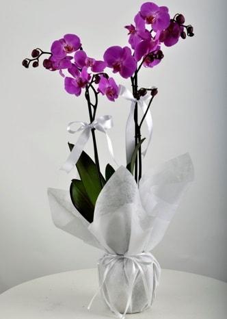 Çift dallı saksıda mor orkide çiçeği  İstanbul çiçek gönderme sitemiz güvenlidir