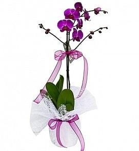Tek dallı saksıda ithal mor orkide çiçeği  İstanbul çiçek yolla , çiçek gönder , çiçekçi