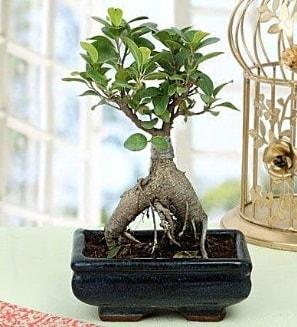 Appealing Ficus Ginseng Bonsai  İstanbul ucuz çiçek gönder