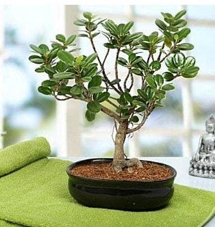 Lovely Ficus Iceland Bonsai  İstanbul ucuz çiçek gönder
