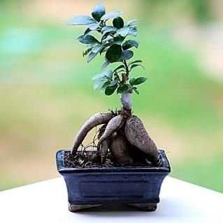 Marvellous Ficus Microcarpa ginseng bonsai  İstanbul çiçek gönderme sitemiz güvenlidir