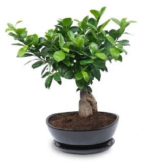 Ginseng bonsai ağacı özel ithal ürün  İstanbul online çiçekçi , çiçek siparişi