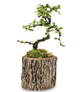 Doğal kütükte S bonsai ağacı  İstanbul çiçek online çiçek siparişi