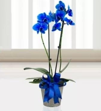Çift dallı mavi orkide  İstanbul çiçek online çiçek siparişi