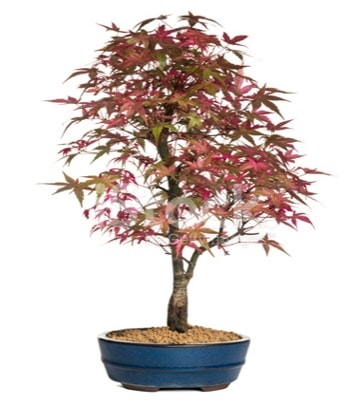 Akçaağaç bonsai süper bonsai ağacı  Hediye Çiçek çiçek gönderme