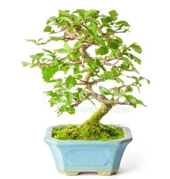 S zerkova bonsai kısa süreliğine  Hediye Çiçek cicekciler , cicek siparisi