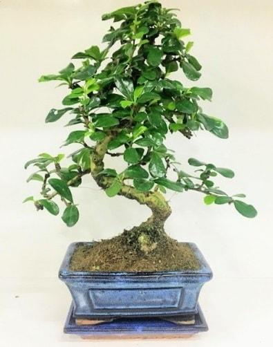 S Bonsai japon ağacı bitkisi  İstanbul çiçek satışı