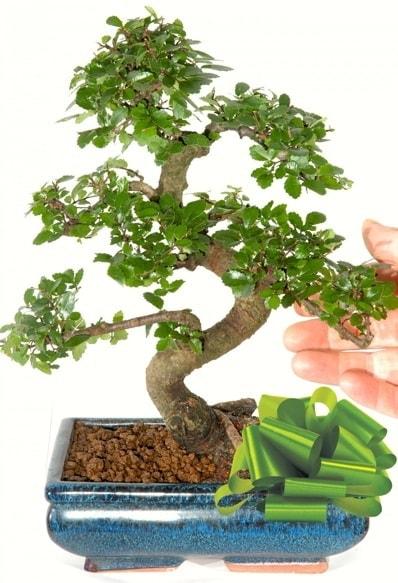 Yaklaşık 25 cm boyutlarında S bonsai  İstanbul yurtiçi ve yurtdışı çiçek siparişi