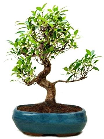 25 cm ile 30 cm aralığında Ficus S bonsai  İstanbul uluslararası çiçek gönderme